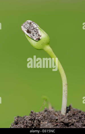Sunflower (Helianthus annuus), seedling, North Rhine-Westphalia, Germany - Stock Photo