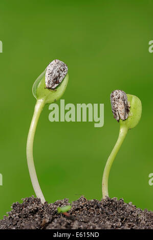 Sunflower (Helianthus annuus) seedlings, North Rhine-Westphalia, Germany - Stock Photo