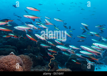 Yellow and Blueback Fusiliers or Yellow-tail Fusiliers (Caesio teres) and Dark-banded Fusiliers (Pterocaesio tile) - Stock Photo