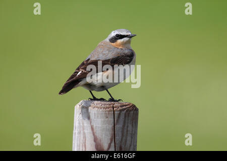 Northern Wheatear (Oenanthe Oenanthe), male perched on a fence post, Lauwersmeer National Park, Holland, The Netherlands - Stock Photo