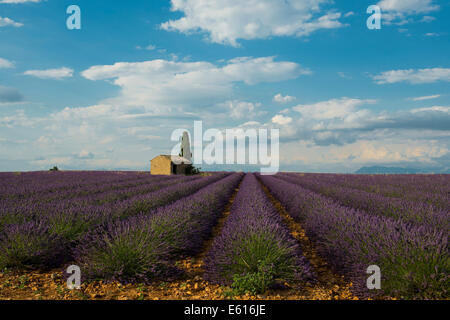 Small house with cypress in a lavender field, Plateau de Valensole, in Valensole, Provence, Provence-Alpes-Côte - Stock Photo