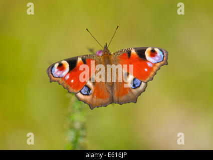 Peacock butterfly (Inachis io, Nymphalis io), Saxony-Anhalt, Germany - Stock Photo