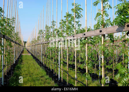 Common Ash European Ash Fraxinus Stock Photos & Common Ash