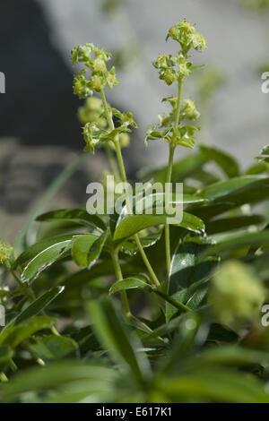 mountain lady's mantle, alchemilla conjuncta - Stock Photo