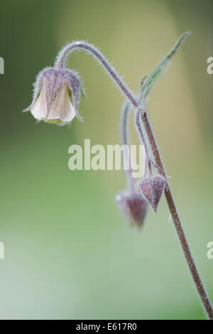water avens, geum rivale - Stock Photo