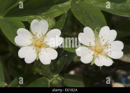 white cinquefoil, potentilla alba - Stock Photo