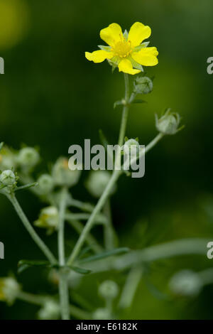 cinquefoil, potentilla argentea - Stock Photo