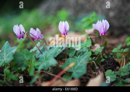English woodland gardening: close-up view of pretty, delicate Autumn flowering cyclamen, the purple Cyclamen hederifolium - Stock Photo