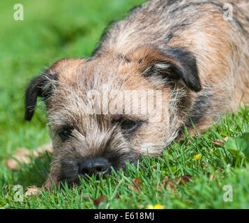 A Border Terrier dog, five months old - Stock Photo