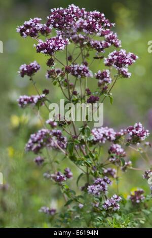 oregano, origanum vulgare - Stock Photo