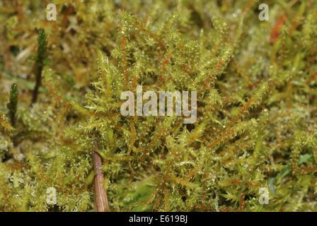 springy turf-moss, rhytidiadelphus squarrosus - Stock Photo