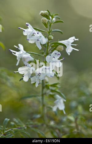 mountain savory, satureja alternipilosa - Stock Photo