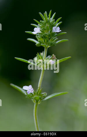 summer savory, satureja hortensis - Stock Photo