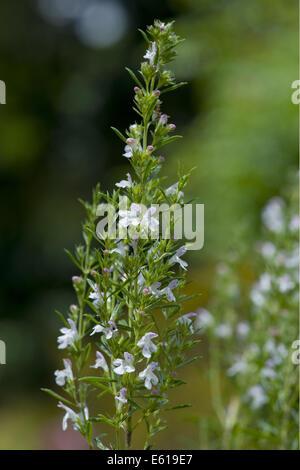 winter savory, satureja montana - Stock Photo