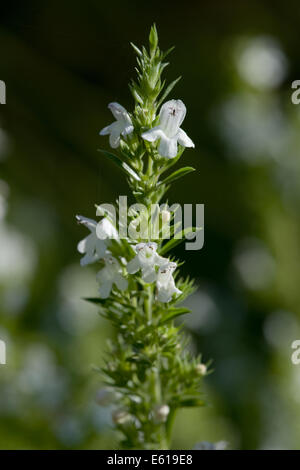 winter savory, satureja montana - Stock Photo
