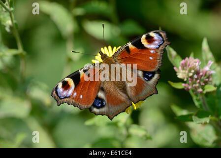 Peacock butterfly (Inachis io) feeding on nectar of fleabane. - Stock Photo