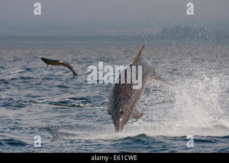 Bottlenose dolphin (Tursiops truncatus) hunting a fish (salmon), Chanonry Point, Moray Firth, Highlands, Scotland - Stock Photo