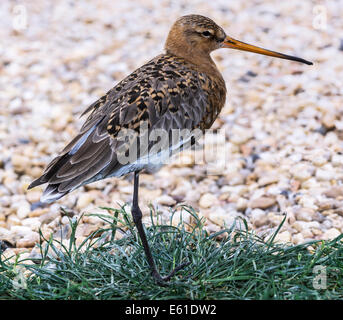 Adult Black-tailed Godwit in summer plumage. - Stock Photo