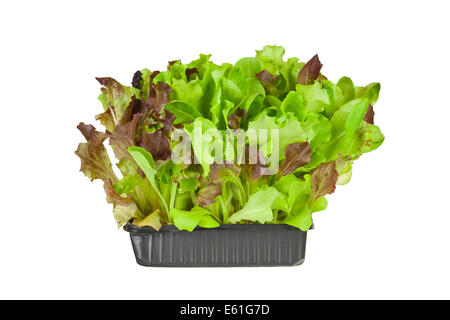 Living salad, red and green baby leaf lettuce in a tray isolated against a white background - Stock Photo