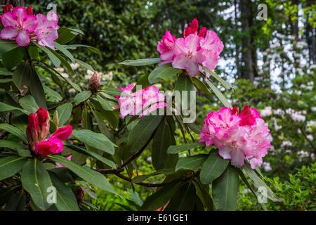 Hendrick's Park Rhododendron Gardens in Eugene, Oregon, USA. - Stock Photo