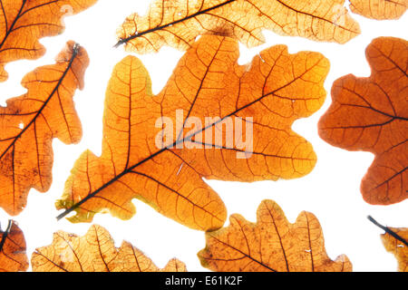 Lots of dry oak leaves isolated over white background - Stock Photo