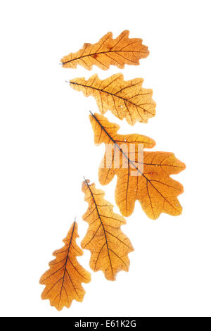 Dry oak leaves isolated over white background - Stock Photo