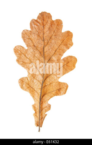 Oak leaf close-up isolated over white background - Stock Photo