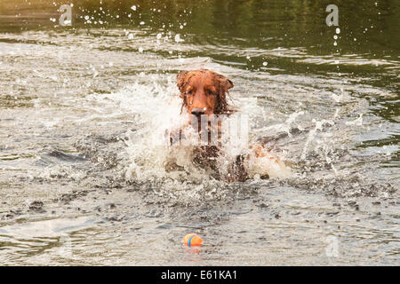 Irish setter plays with ball in the water - Stock Photo