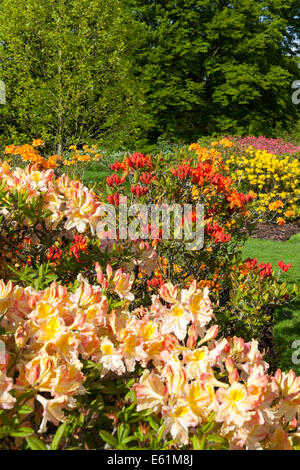 Azaleas, Rhododendrons and spring flowers in bloom in Kew Gardens, London - Stock Photo