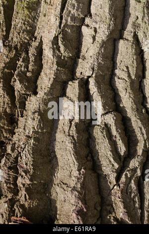 Black Poplar (Populus nigra). Trunk showing deeply fissured and ridged bark. - Stock Photo