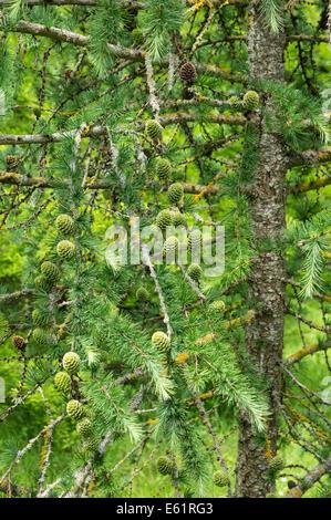 European larch with cones Larix decidua - Stock Photo