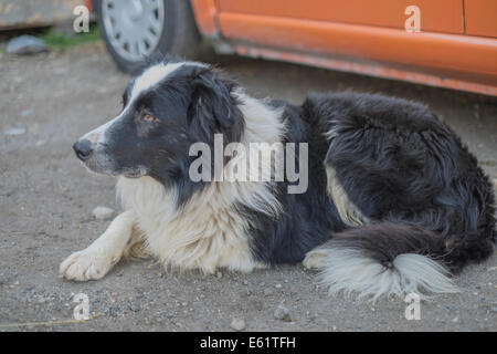 The Border Collie in Aussois is keeping the sheeps - Stock Photo
