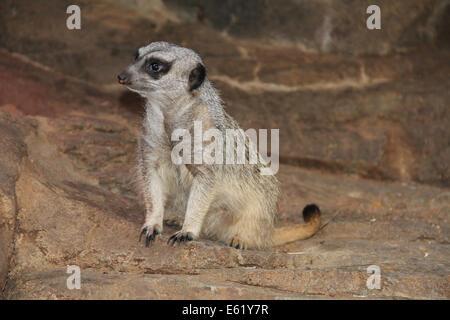 Meerkat on Guard outside his den. - Stock Photo