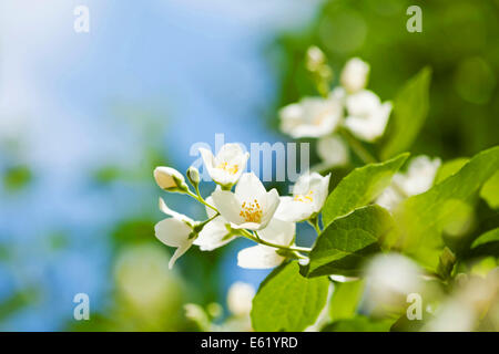 Beautiful fresh jasmine flowers in the garden, macro photography - Stock Photo