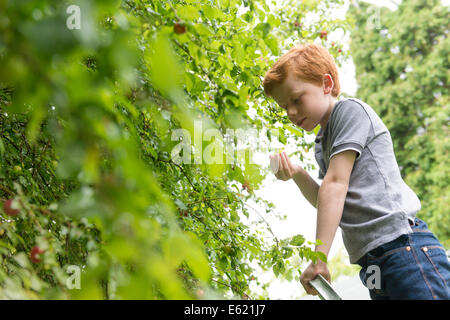 A ten year old by picking plums from a tree. - Stock Photo