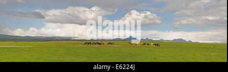 Islandic horse, Iceland pony (Equus przewalskii f. caballus), Island ponies in a pasture on a farm in Iceland - Stock Photo