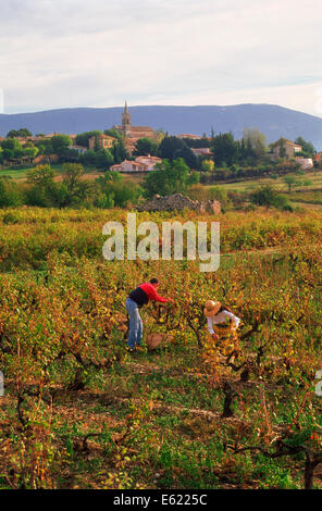 Man and woman collecting grapes in small vineyard below the village of Villars in Provence, France - Stock Photo