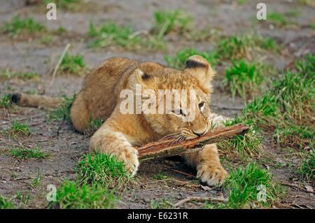 African Lion (Panthera leo), cub - Stock Photo