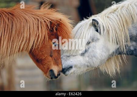 Shetland Pony (Equus ferus caballus), North Rhine-Westphalia, Germany - Stock Photo
