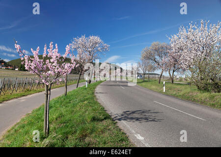 Country road, blossoming almond trees, German Wine Route, Gimmeldingen, Neustadt an der Weinstraße, Rhineland-Palatinate - Stock Photo
