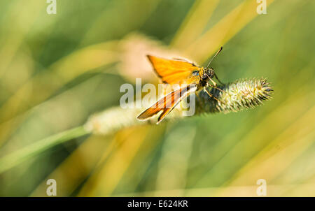 Small Skipper (Thymelicus sylvestris) on a blade of grass, Bavaria, Germany - Stock Photo
