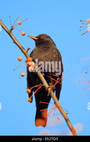 Common Blackbird or Eurasian Blackbird (Turdus merula), male, North Rhine-Westphalia, Germany - Stock Photo