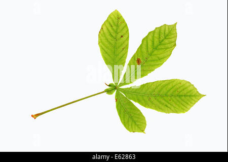 Horse Chestnut or Conker Tree (Aesculus hippocastanum), leaf - Stock Photo