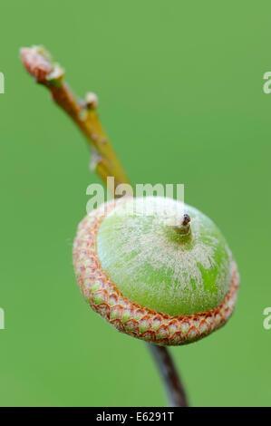 American Red Oak or Champion Oak (Quercus rubra), acorn, North Rhine-Westphalia, Germany - Stock Photo