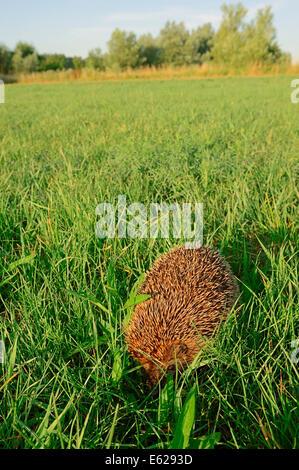 European Hedgehog or Common Hedgehog (Erinaceus europaeus), North Rhine-Westphalia, Germany - Stock Photo