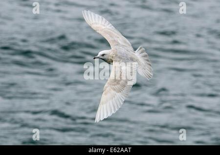 Iceland Gull 2nd winter Ardglass Harbour Northern Ireland February - Stock Photo