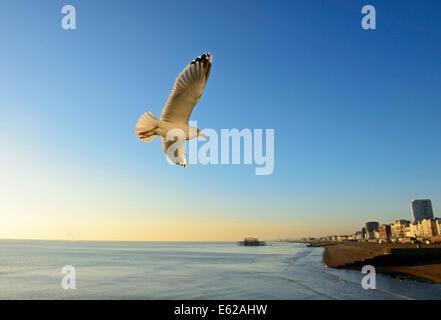 Herring Gull Larus argentatus on Brighton sea front Sussex winter - Stock Photo