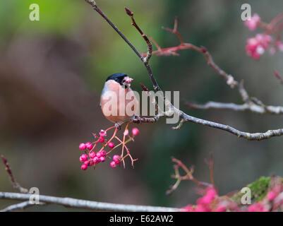 Eurasian Bullfinch (Pyrrhula pyrrhula) male feeding on Rowan berries Scotland - Stock Photo