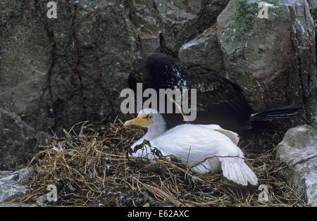 Leucistic Shag on nest Farne Islands - Stock Photo