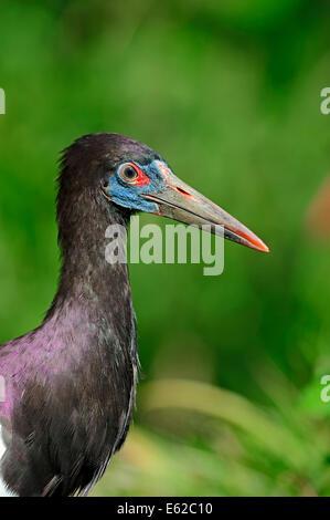 Abdim's Stork or White-bellied Stork (Ciconia abdimii) - Stock Photo